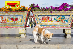 #Dog in the #Streets of #Lhasa #Tibet (graser.robert) Tags: artist china dog lhasa photo robertgraser tibet street lasashi xizangzizhiqu cn outdoor nikon d7100