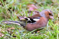 Chaffinch feeding. (pstone646) Tags: chaffinch nature bird animal fauna closeup kent stodmarsh wildlife