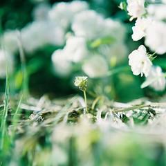 これは薔薇ではない草 (Kahori YAGI_Kahoring) Tags: film filmphotography mediumformat pentacon pentaconsix biometar fujicolor fuji grass green rose bokeh square フィルム フィルム写真 ペンタコンシックス 花 草 緑 カノプリ