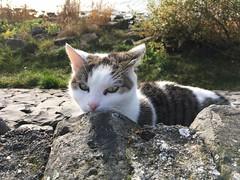 Looking to me (masteruser1999) Tags: 2016 ijsselmeer iphone6splus iphone6s iphoneography masteruser1999 netherland niederlande sonne sonnig stein stone tiere tier urk katze flewoland