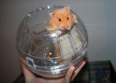 Hello Monty (.annajane) Tags: hamster pet syrianhamster monty cute ball hamsterball mesocricetusauratus