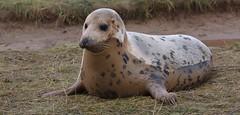 AM I A DOG... OR AM I A SEAL By Angela Wilson (angelawilson2222) Tags: creature sealife grey seal fur wild wildlife nature sea ocean breeding donna nook lincolnshire trust mammal nikon angela wilson