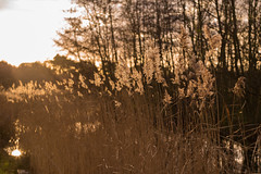 Lit (romanboed) Tags: leica m 240 summilux 50 europe netherlands holland dutch meadow swamp countryside reeds grass sun winter afternoon wassenaar jagerslaan landscape zuidholand tall lit bokeh