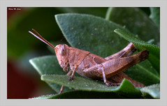 El pequeño visitante de mi jardín (Jose Manuel Cano) Tags: saltamontes grasshopper nikond5100 planta plant insecto insect macro