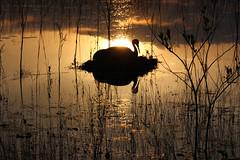 The Radiance of Your Grace (Kenziu Garcia) Tags: sandhill crane lake serene outdoor