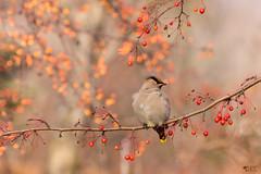 """''Scintillement boral!"""" Jaseur Boral/ Bohemian waxwing-Bombycilla garrulus (pascaleforest) Tags: oiseau bird profondeur de champ bokeh passion nikon nature qubec canada wild wildlife fruit couleur color animal fauna"""