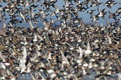 Wigeon and teal (Steve Balcombe) Tags: bird rspb greylake somerset uk