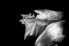 'Aerodinmica' (Jonathan Casey) Tags: swan male detail nikon d810 200mm f2 vr nottingham ironmongers pond