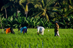 Campesinos trabajando en arrozales (fns-k) Tags: agricultor agricultura arroz asia bali campo campos cereales espaa europa gusto indonesia islasbaleares mallorca sentidos