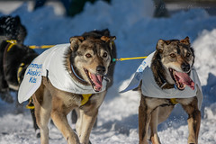 Ready, Set, MUSH!!! (Bryan Adams Photography) Tags: iditarod dogsled race competition dogmushers mushers anchorage alaska ak downtown dogs teams canine winter 2014 nikon thelastfrontier outdoors adventure snow cold paws teamwork nikond7100 apsc