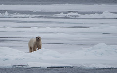 DSC_3482 (stacyjohnmack) Tags: july23 polarbear artic