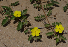 Tribulus cistoides, Pallarenda Beach, Townsville, QLD, 10/08/15 (Russell Cumming) Tags: plant weed queensland townsville zygophyllaceae tribulus pallarenda tribuluscistoides pallarendabeach