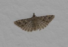 Twenty-plume Moth (Alucita hexadactyla) (macronyx) Tags: nature insect wildlife moth insects insekt mott insekter twentyplumemoth alucitahexadactyla alucita nattfjril fjdermott kaprifolfjdermott