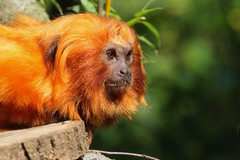 Golden lion tamarin at Paignton Zoo. Taken on 31-08-2014 - 12_17_01.jpg (atthezoouk) Tags: camera devon monkeys zoos paignton primates paigntonzoo cameralens animalphotos goldenheadedliontamarin ef70200mmf4lusm biaza canoneosrebelt1i