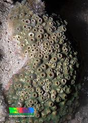 Pebble coral (Astreopora sp.) (wildsingapore) Tags: nature marine singapore underwater wildlife coastal shore intertidal seashore pulau marinelife hantu cnidaria wildsingapore scleractinia acroporidae astreopora