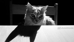 b/w challenge 257 / 365 (photos4dreams) Tags: red bw white black rot female cat ginger photo photos pics fluffy mainecoon sw katze chilli schwarz weis photos4dreams photos4dreamz p4d misschillipepper chilli29092013p4d sundaysbestp4d