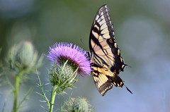 Eastern Tiger Swallowtail (Nikon Photos by Sparkyhb) Tags: irish flower butterfly nikon purple wildlife thistle national bombay hook swallowtail refuge
