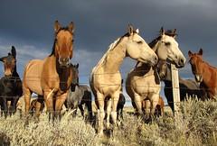 Horses.   Montana (montanatom1950) Tags: horses horse animals montana helena helenamontana