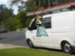 Meal on wheels (tessab101) Tags: spider with arachnid orb prey weaver arthropod