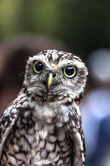 Little Owl (G.hostbuster (Gigi)) Tags: bird animal little owl ghostbuster civetta gigi49