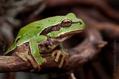 European Tree-Frog (Hyla_arborea)