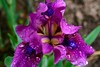 Iris (Marianna Gabrielyan) Tags: iris plant flower color macro floral rain canon petals drops bokeh background blurred depthoffield canon28135mmf3556isusm xti 400d