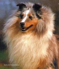 Blue Merle Sheltie (Edward Saksenhaus RPh.) Tags: dog sheltie sheepdog canine shetland herding