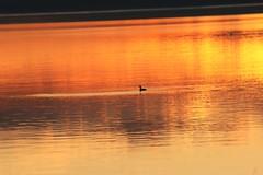 Atardecer, Lago Villarrica, Pucon, Chile (Agustín Ignacio Nicolás Vera Valle-Lugine) Tags: chile sunset naturaleza lago atardecer photography duck paz pato sur pucon lagovillarrica