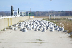 8F9A1385.jpg (ericvdb) Tags: bird seagull muskegon wastewaterplant
