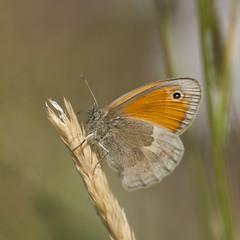 Juste un souvenir **--- --° (Titole) Tags: procris papillon butterfly titole nicolefaton squareformat thechallengefactory friendlychallenges challengeyouwinner