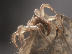 Antrodiaetus pacificus (Sean McCann (ibycter.com)) Tags: