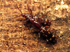 Oak Timberworm Pair (treegrow) Tags: nature insect washingtondc beetles rockcreekpark arthropoda coleoptera lifeonearth raynoxdcr250 brentidae arrhenodesminutus canonspeedlite430exii taxonomy:binomial=arrhenodesminutus canonpowershotsx40hs