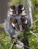 Mother and Baby (J Allan-1) Tags: possum baby wildlife australia ringtail