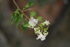 DSC09637 (oliveplum) Tags: white singapore bokeh sony bougainvilleas thomsonroad summicronr1250
