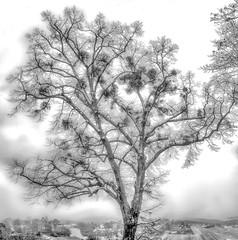 Winter - time for the mistletoe (onkobrain) Tags: rotenberg