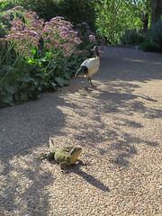 Roma st parklands (Jellibat) Tags: park bird gardens garden reptile australia brisbane lizard ibis queensland waterdragon romastreet easternwaterdragon romastreetparklands romastreetparkland