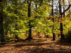 The woods in Auturmn (Julia Livesey) Tags: autumn virginiawater englefieldgreen england unitedkingdom gb