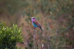 Lilac-Breasted Roller (Coracias caudatus). Masai Mara - Kenya (drchristo4) Tags: coraciascaudatus