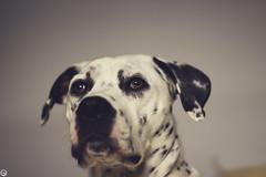 (39/365) (Stefana Daz) Tags: dog animal canon 50mm leah dalmatian dlmata