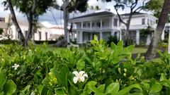 Murraya-paniculata_WashingtonPlace-320SBeretania-Honolulu_Cutler_20151202_140710 (wlcutler) Tags: hawaii honolulu murraya murrayapaniculata
