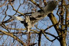 Heron landing (psnikon) Tags: bird heron animal nikon sigma tier vogel wilhelma reiher nikonphotography d800e nikond800e sigma150600s