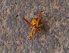 Hornet Macro taken on December 20, 2015 with a HTC PhoneCam in Northern Illinois IMAG0126 (Ted_Roger_Karson) Tags: macro hornet twop htc northernillinois handheldcamera specinsect macrolife htcphonecam december202015
