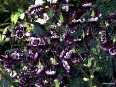 Aquilegia vulgaris 'William Guiness'