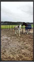 Extra poetswerk voor Marijke (gill4kleuren - 13 ml views) Tags: horse white me beauty fun outside happy riding together gill anisa paard pret hengst arabier