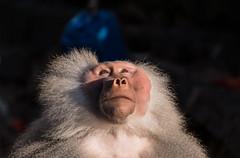 Mantenbaviaan (Hamadryas Baboon) 0038 (bzd1) Tags: people man male men nature animal monkey natuur krefeld baboon dieren dier animalia primates papiohamadryas papio hamadryas bavianen chordata primaten zookrefeld mantelbaviaan chordadieren cercoithecidae hamadryasboboon