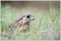 Duttaphrynus melanostictus (Thor Hakonsen) Tags: thailand frog toad jomtien padde duttaphrynusmelanostictus commonasiantoad bufomelanosticus