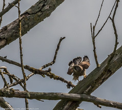 9Q6A7168 (2) (Alinbidford) Tags: alinbidford alancurtis brandonmarsh kingfisher greyheron heron kestrel