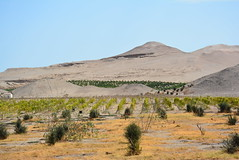 vine rows and orchard rows in desert (cam17) Tags: arica chile aricachile fogcatcher garuacatcher irrigationsystem fogcatchingnet atacamadesert atacama rowsofvines orchardrows