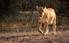 Botswana (ClaDae) Tags: lion wildlife animal africa south journeysadventures journeys adventures light land 2016 bestof2016 best travelphotography 3000v120f