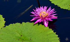 2016.08.07 Longwood Gardens, Kennett Square, PA (Katie Wilson Photography Adventures) Tags: longwood gardens garden pennsylvania pa adventure katie wilson photo adventures photography photographer exploring sought flowers sunny summer day flower lotus waterlily waterlillies pond bloom blooming trees botanical gorgeous beautiful tourist people watching blue dragonflies dragon fly lily pads lilypads lilypad skies fountains peaceful bark perspective reflections playing with light manual mode frustrated practice matte serene meditation touring